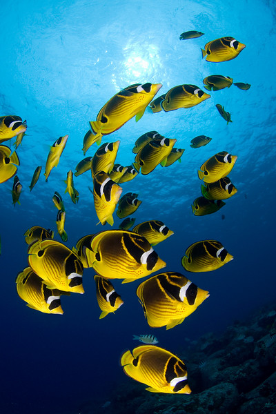 raccoon butterflyfish or